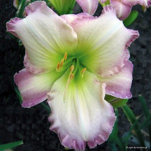 "Hemerocallis ""Seal of Approval"" - liliowiec"