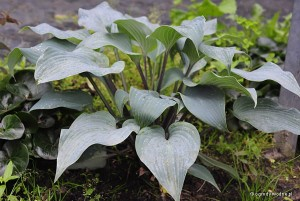 "Hosta ""Mr Blue""  - funkia"