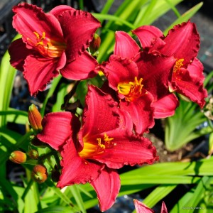 "Hemerocallis ""Siloam Red Toy"" - liliowiec"