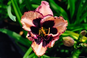 "Hemerocallis ""Jane Trimmer"" - liliowiec"