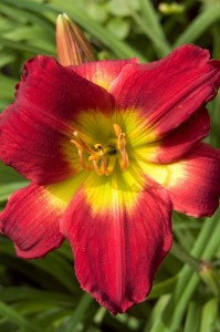 "Hemerocallis ""Christmas Is"" - liliowiec"
