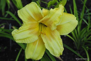 "Hemerocallis ""Double Sweet"" - liliowiec"