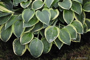 "Hosta ""Hush Puppy"" - funkia"