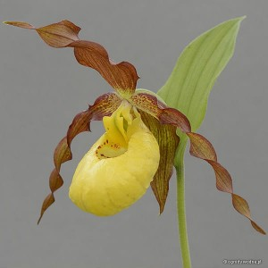 "Cypripedium ""Otto"" - obuwik"