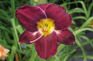 "Hemerocallis ""All American Plum"" - liliowiec"