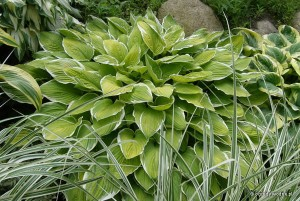 "Hosta ""Moonlight"" - funkia"