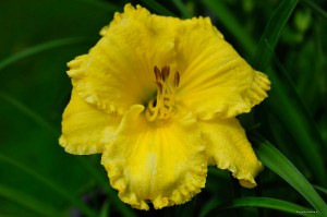 "Hemerocallis ""African Timber"" - liliowiec"