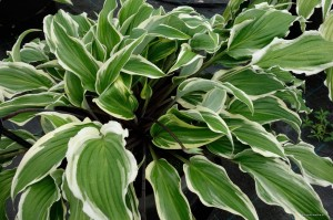"Hosta ""Lady Luck"" - funkia"