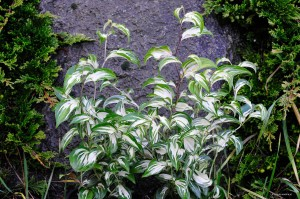 "Disporum cantoniense ""Moonlight"" -  parnik"