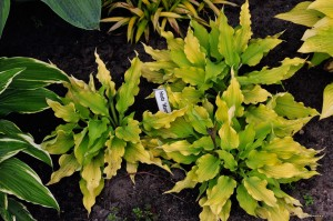 "Hosta ""Marrakech"" - funkia"