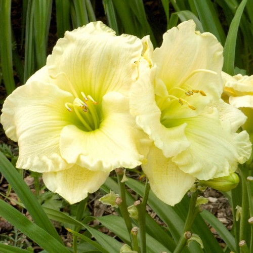 Hemerocallis 'Cool It""