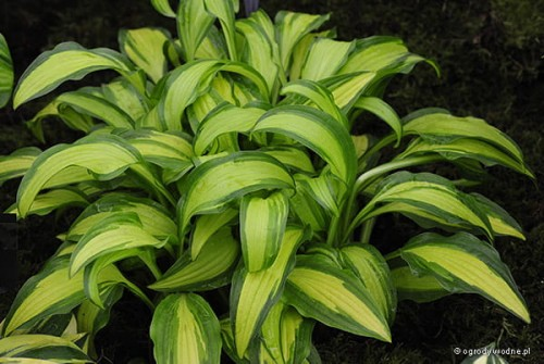 Hosta 'First Mate' - Funkia