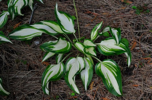 Hosta_'Cool as a Cucumber'