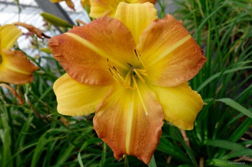 "Hemerocallis ""EveryDaylily Punch Yellow"""