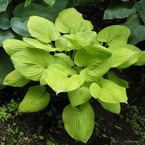 "Hosta ""Banana Kid"""