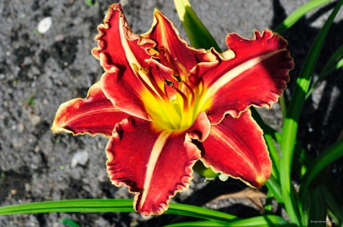 "Hemerocallis ""Chilli Spice"""