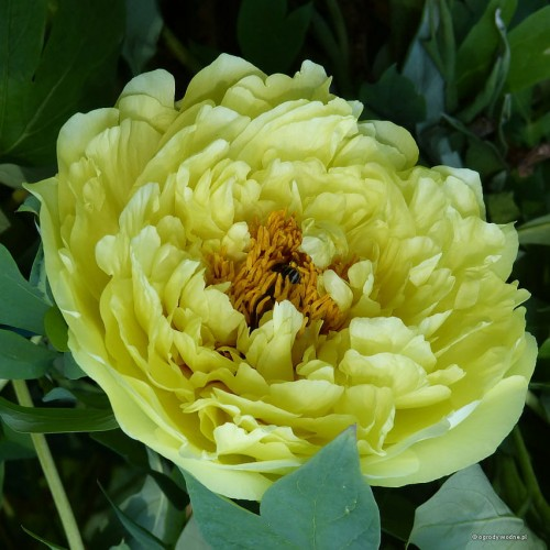 paeonia_Yellow_Crown_kg.jpg