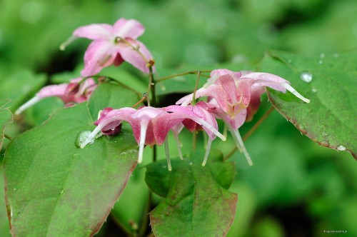 "Epimedium ""Pretty in Pink"""