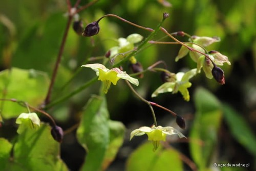 "Epimedium pinnatum ""Black Sea"" wiosną"