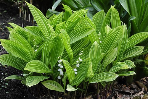 "Convallaria majalis ""Polish Beauty"""
