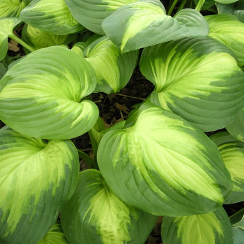 "Hosta ""Enchiladas"""