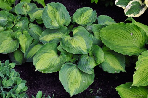 "Hosta ""Beyond Glory"""