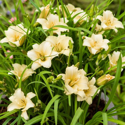 "Hemerocallis ""EveryDaylily Cream"""