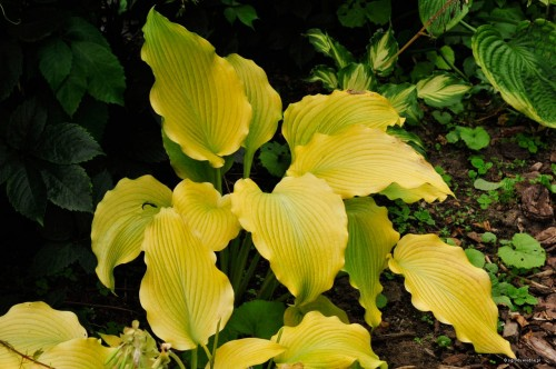 "Hosta ""Flemish Gold"""
